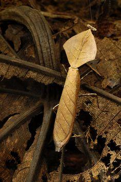 Deroplatys truncata, dead leaf mantid from Borneo (photo by Arddu)