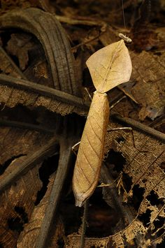Deroplatys truncata, dead leaf mantid from Borneo (photo by Arddu)