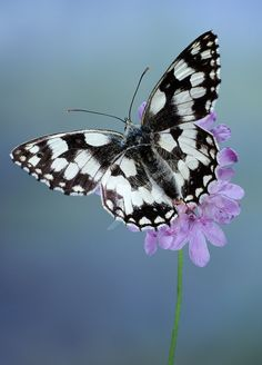 The Marbled White (Melanargia galathea) is a butterfly in the family…