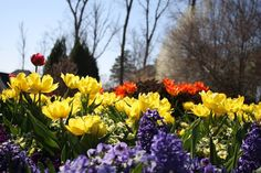 We love it when tulips, daffodils and hyacinths appear in the spring.