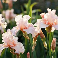 Bearded Iris Bearded iris (also called German iris) provides a striking vertical accent with its stiff sword-shaped leaves. Flower colors run the rainbow from deep burgundy red to pastel pinks and yellows, to every shade of blue and violet and appear in late spring. Zones 3-9