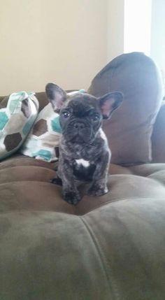 Joey <3  Frenchie Bulldog 2016