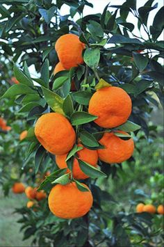 Fruit Trees: Keep the healthy Tangerine Tree Fruit And Veg, Fruits And Vegetables, Fresh Fruit, Mango Fruit, Citrus Garden, Fruit Garden, Fruit Plants, Fruit Trees, Photo Fruit