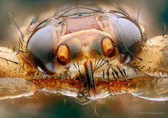 Deer ked / deer fly - Lipoptena cervi - hirvikärpänen | Flickr ...