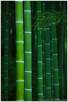 green, green, green ~~bamboo grove in Tenryu-ji temple, Kyoto, Japan by Damien Douxchamps~~ Go Green, Green Colors, Nature Verte, Foto Transfer, Kyoto Japan, Patterns In Nature, World Of Color, Belle Photo