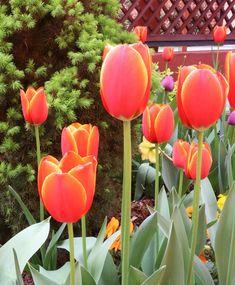 Easter Flowers, Tulips, Stuffed Peppers, Orange, Vegetables, Plants, Stuffed Pepper, Vegetable Recipes, Plant