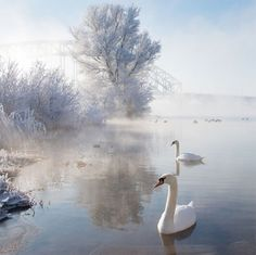 18 beautiful and breathtaking photos of swans
