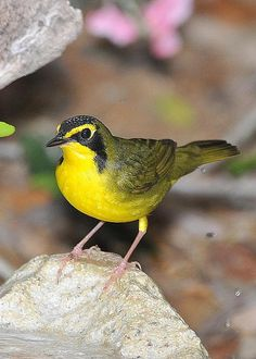 Saw one of these after much searching in Wyalusing State park Kentucky Warbler by Linda Konz
