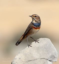 Bluethroat by fotovulture via http://ift.tt/2bP9YRR