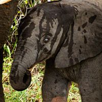 Post image for Albino Elephant -- look at those blue eyes