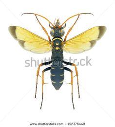 Hymenoptera Fotos, imagens e fotografias Stock | Shutterstock