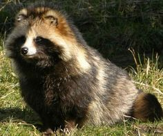 This is what a real tanuki looks like.