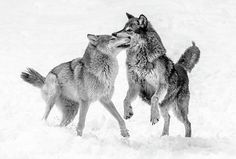 beautiful-wildlife: Wolf Play by © Athena. - Respect the Wolf Wolf Photos, Wolf Pictures, Animal Pictures, Wolf Photography, Wildlife Photography, Beautiful Wolves, Animals Beautiful, Wolf Mates, Husky