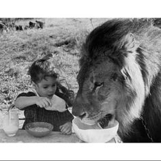 Close-up of a girl and a lion having breakfast together (Panthera leo) Poster Print (18 x 24)