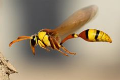 wasp in flight; Source: http://onebigphoto.com/wasp-in-flight/