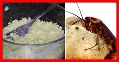 As baratas são um dos insetos mais resistentes do planeta Terra.Elas são capazes de sobreviver até mesmo em condições mais severas e extremas.