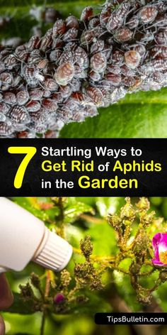 Kill aphids and garden pests without pesticides using these amazing tricks. An aphid population damages plants and leaves behind sooty mold. Kill every species of aphids with neem oil and beneficial insects like lacewings that prey on aphids. #howto #getridof #aphids #garden Growing Plants Indoors, Growing Vegetables, Get Rid Of Aphids, Backyard Farmer, Beneficial Insects, Neem Oil, Garden Pests, Companion Planting, Planting Succulents