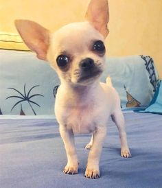 Chihuahua dogs are part of the toy dog breed, bringing a lot of energy in a tiny package. Cute Chihuahua, Chihuahua Puppies, Cute Puppies, Cute Dogs, Chihuahuas, Super Cute Animals, Cute Baby Animals, Toy Dog Breeds, Yorky