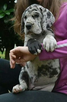 Adorable Great Dane Puppy