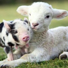 Piglet and Lamb Wallpaper from Baby Farm Animals. This is a cute picture of a spotted piglet with a lamb. Baby Farm Animals, Animals And Pets, Funny Animals, Cute Animals, Animal Babies, Zoo Animals, Barn Animals, Vegan Animals, Wild Animals