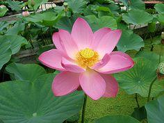 Lotus Plant = yes please