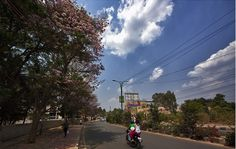 More Purple Trees - Bengaluru