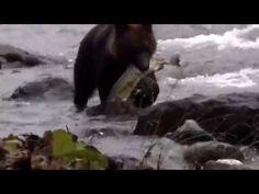 ヒグマ(子熊)のサケ漁 Brown Bear(Baby) - YouTube