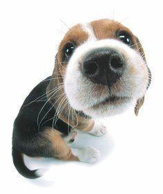Hunde - GB Bild #Beagle