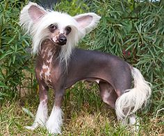 Chinese Crested Dog <3