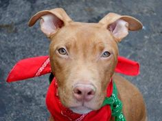 TO BE DESTROYED 03/27/15-Manhattan Center  ~~PUPPY ALERT!!~~  TROY - A1030459  NEUTERED MALE, BROWN / WHITE, PIT BULL MIX, 7 mos STRAY - STRAY WAIT, HOLD RELEASED Reason STRAY https://www.facebook.com/photo.php?fbid=979250052087874