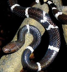 Among the new reptile discoveries is the wolf snake, Lycodon synaptor or Boehme's wolf snake, from Dongchuan, a mountainous region of Yunnan Province, China