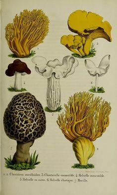 Mushroom illustration | Harvard University Herbarium, Botany Libraries