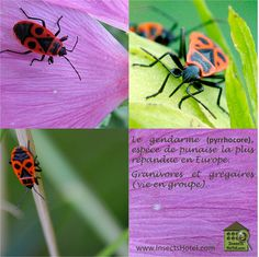 #Gendarmes #insectes #InsectHotel #insecte #nature #biologie #animal #animaux #faune www.InsectsHotel.com