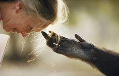 Para tocar a bióloga Jane Goodall, um chimpanzé estende a mão por entre as grades da jaula de um zoo em Brazzaville, Rep do Congo. A foto de Michael Nichols foi publicada pela primeira vez em 1991. Goodall foi pioneira no estudo comportamental dos chimpanzés.