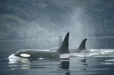 http://images.fineartamerica.com/images-medium-large/orca-orcinus-orca-group-surfacing-flip-nicklin.jpg