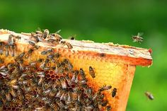 Bees go hand in hand with gardening. Besides giving honey, they perform the essential task of pollination - ensuring plants can reproduce and rewarding gardeners with more prolific crops.
