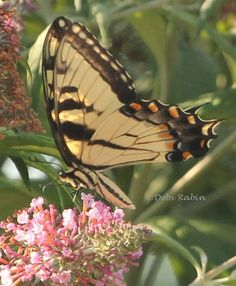 "Photo ""EasternTIgerSwallowtail7-17-13-01"" by debirabin"