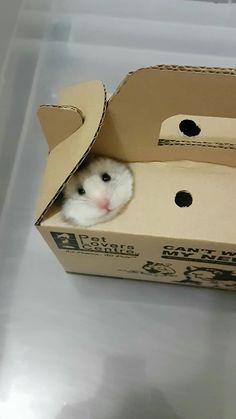 Poderia vir um desses na caixinha do Macdonald Super Cute Animals, Cute Little Animals, Cute Funny Animals, Funny Cute, Hamster Care, Baby Hamster, Hamster Toys, Funny Hamsters, Cute Creatures
