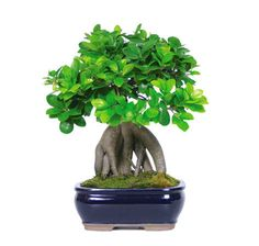 Ginseng Grafted Ficus Bonsai Tree – Large
