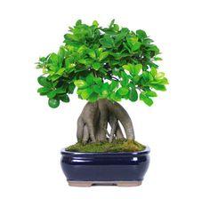 cura del bonsai ficus ginseng