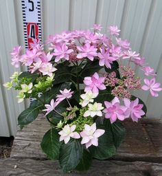 Hydrangea pink dance party # 5 pot
