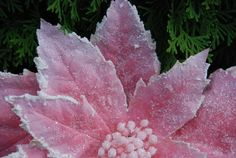 Shelley B Home and Holiday - Pink Christmas Candy Sugar Frosted Poinsettia Stem 36 inches, $11.50 (http://shelleybhomeandholiday.com/pink-christmas-candy-sugar-frosted-poinsettia-stem-36-inches/)