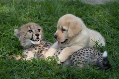 Emmet (10 week old Cheetah cub) and Cullen (7 week old puppy) - Columbus Zoo