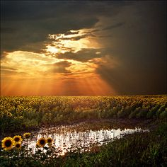 Angel's stairs...Magical sunset light over the sunflower field by Katarina 2353, via Flickr