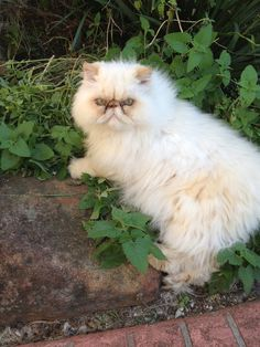 Laying in the Catnip in the Garden I Love Cats, Crazy Cats, Cute Cats, Kittens Cutest, Cats And Kittens, Himalayan Cat, Persian Kittens, Fancy Cats, Exotic Shorthair
