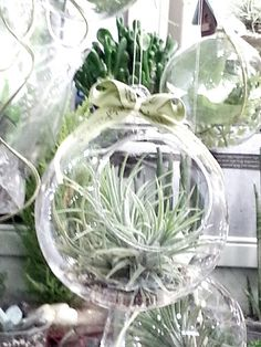 Air plant #Tillandsia It doesn't need to earth  It just need to WATER !  It's a natural air cleaner :)