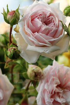 Souvenir de la Malmaison Rose...your favorite...right?! ♥️