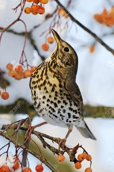 Song Thrush, Turdus Philomelos, Single Bird On Rowan Berries,.. Stock Photo, Picture And Royalty Free Image. Image 22574117.