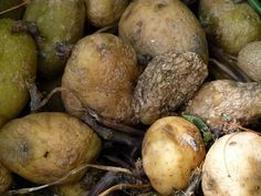 Rotten, green or sprouting potatoes: the health risks that can even kill Sprouting Potatoes, Peeling Potatoes, Guava Benefits, Clostridium Botulinum, Guava Leaves, Getting Hungry, Health Tips, Health Benefits, Healthy Recipes