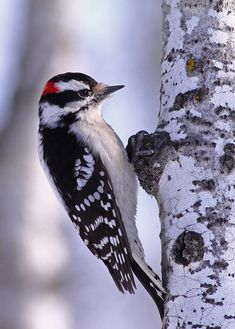 Downy woodpecker - Picoides pubescens - is smaller in size and has a proportionately shorter beak than the Hairy woodpecker